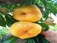 秋彤桃树苗建园指导 金童5号桃树种苗新品种