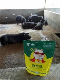 中豬吃什么長的快 豬吃什么三個月出欄  養豬一日長10斤秘方