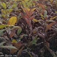 直径1公分岳山王板栗树苗免费提供种植管理/板栗树苗大量出售