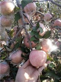 山西矮化短枝红富士苹果苗,苹果树苗价格,嫁接红富士苗
