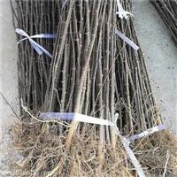 0.8公分大红袍花椒树苗免费提供种植指导/1米高花椒苗价格