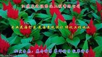 西洋滨菊种子批发商-赣州西洋滨菊种子