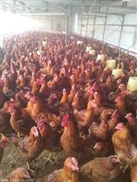 雞吃什么長得肥 養雞吃什么長得快配方 肉雞快速催肥藥
