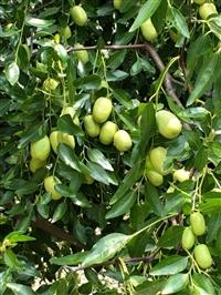 枣树苗价格枣树苗报价枣树苗品种