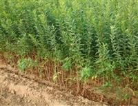 泰山红石榴苗