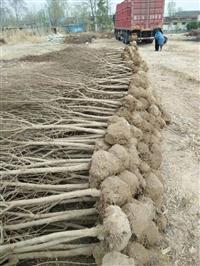 批发石榴苗报价  批发石榴苗价格  批发石榴苗厂家