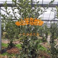 柑橘新品種明日見,一年生柑橘苗,象山基地直發