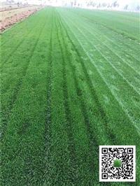 德州草坪出售/北京高羊茅草皮/臨沂綠化草坪