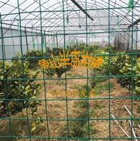柑橘新品種晴姬,早熟雜柑,一年生柑桔樹苗,象山基地直發
