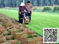河北草坪出售,冷季型草皮價格,小區草皮