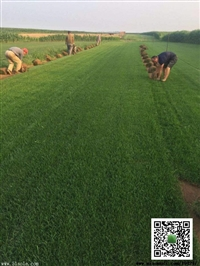 冷季型草坪养护方法/高羊茅草坪卷图片
