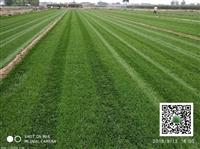 公園草坪出售/混播草皮種植基地
