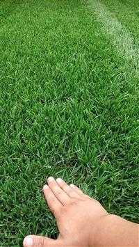 曲阳草皮铺设/草坪种子直销