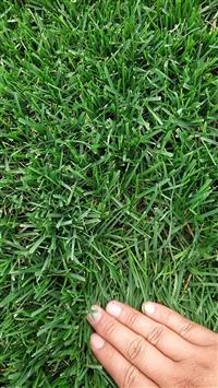綠化草坪/四季青草皮多少錢一平方