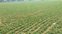 亳州赤芍种苗有哪些品种