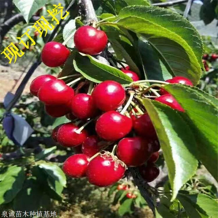 樱桃苗 批发矮化美早樱桃树苗 红灯 俄八 车厘子大樱桃苗