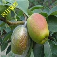梨树苗基地 批发梨树 秋月梨树苗 早酥红梨 梨树苗价格