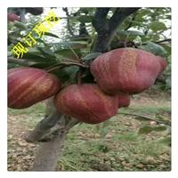 梨树苗基地 批发嫁接梨树苗 梨树管理技术 梨树苗品种多少钱一颗