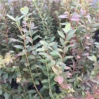 组培北高丛蓝莓树苗种植指导/3年蓝莓树苗行情
