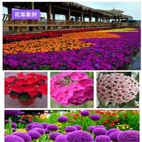 哪里有賣紅花紫薇種子...種籽質優