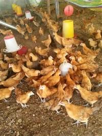 自生源禽業常年供應巫山土雞苗
