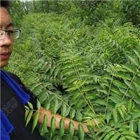 河南省红油香椿苗批发价格