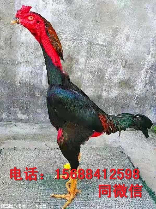 中华斗鸡有卖纯种斗鸡苗出售2015年3月南京田径v纯种图片
