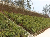 公路邊坡生態修復 遵義綠化植物種子批發