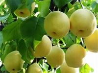 梨树苗基地  梨树苗价格 批发梨树苗