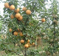 早酥红梨苗 梨树苗基地  批发梨树苗  黄金梨树树苗价格