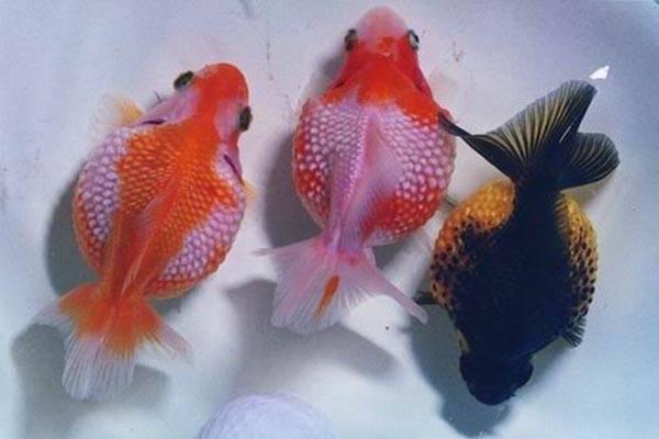 皮球珍珠金鱼品种介绍