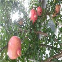 贵州泰山红石榴苗品种表现怎么样