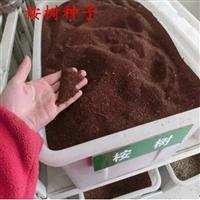 油松种子质优价廉-襄樊油松种子新货销售