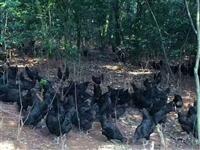 黑雞苗-五黑雞苗-快大黑雞苗批發-黑雞苗價格-黑烏雞苗廠家
