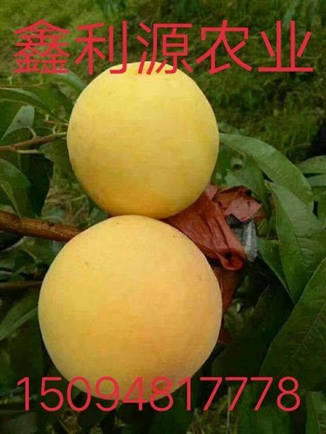 桃树苗什么品种好/黄金苗桃树苗一号/桃树苗批发价格
