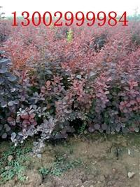甘肃 宁夏 内蒙古 青海 红叶小檗 紫叶小檗批发价格