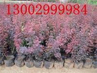 陕西哪有红叶小檗 西安 咸阳 渭南 铜川红叶小檗批发基地