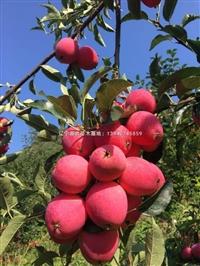 鸡心果苹果苗 辽宁矮化嫁接鸡心苹果树苗
