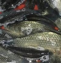四大家魚苗養殖場