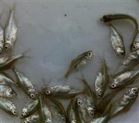淡水鱼苗及新品种供应商电话
