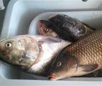 淡水鱼苗及新品种价格低
