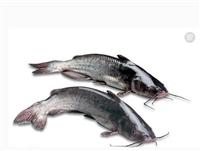 淡水魚苗及新品種多少錢