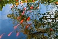 供應各種淡水魚苗及新品種