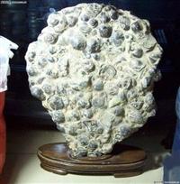 貝殼化石哪里交易行情好上 門收購快