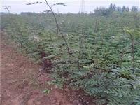 内蒙古大量现货花椒苗效益怎么卖