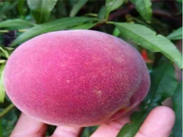 锦州中油4号桃树种苗口感好中油4号桃树种苗新品种