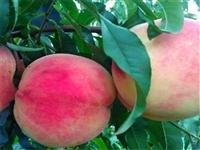 攀枝花油桃树苗价格报表油桃树苗成熟期