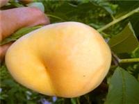 常德中油5号桃树种苗纯正品种中油5号桃树种苗价格