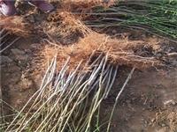 安康冬雪王桃树种苗现货供应冬雪王桃树种苗批发