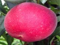 滁州春蕾桃树苗口感好春蕾桃树苗图片